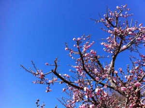 Plum blossom viewing